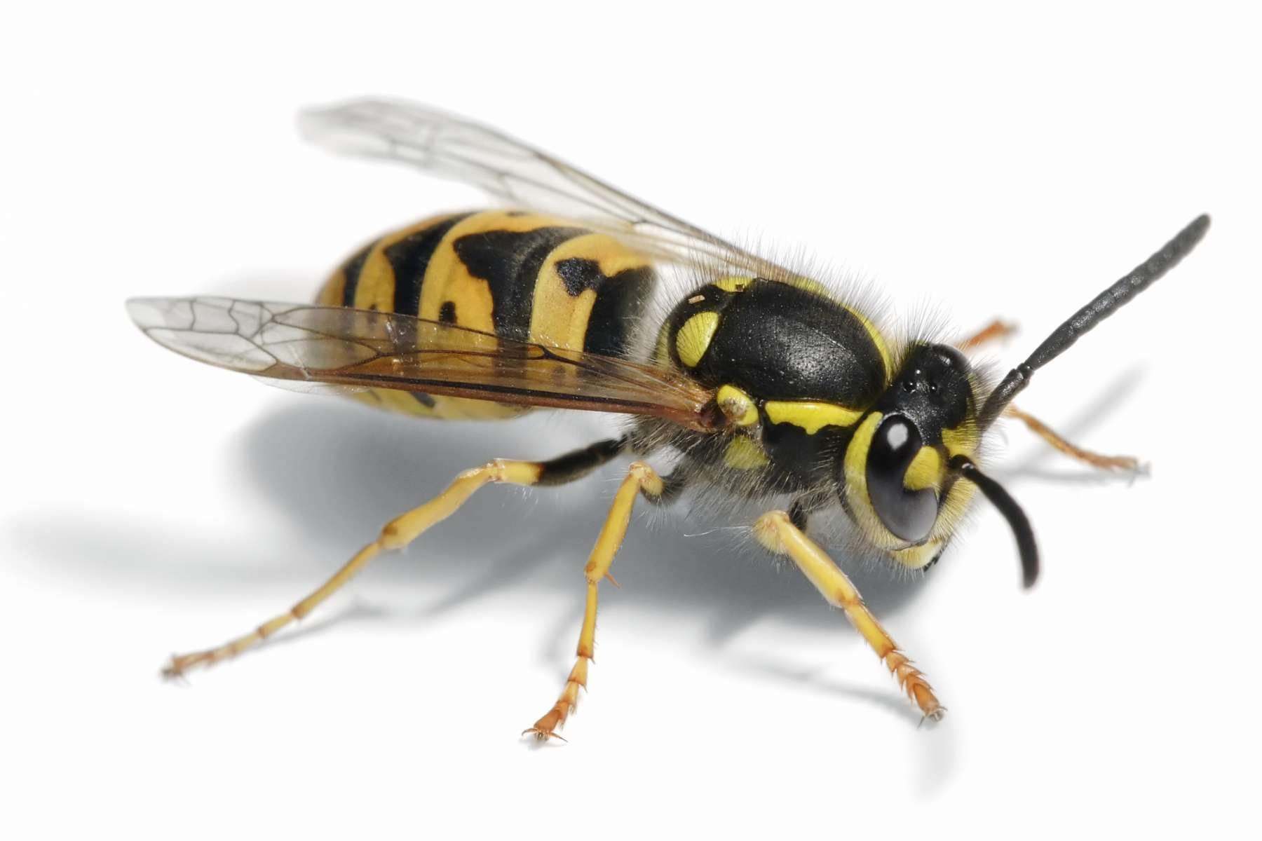 Wasp Removal   and treatment