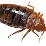 bed bug removal and treatment
