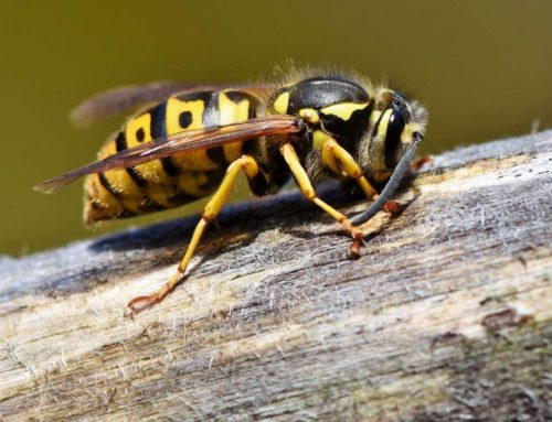 Wasp – friend or foe?